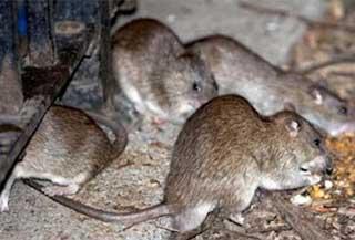 Крысы, мыши для дератизации